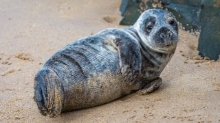 Grey seal pup on the Northumberland coast, England